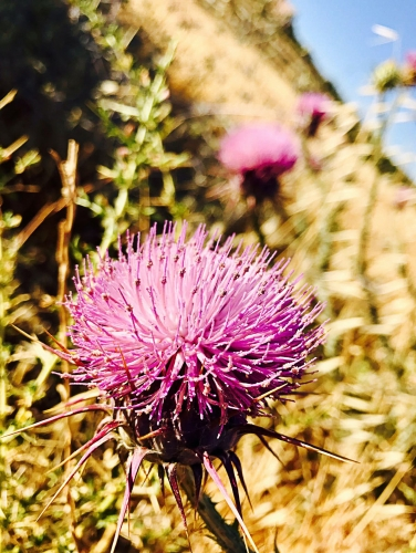 CAPS Pink Thistle